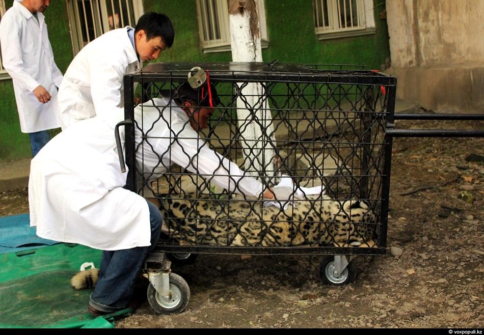 ветеринары помещают хищника в клетку