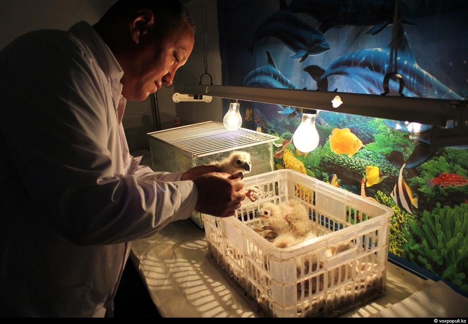 ветеринар осматривает птенцов