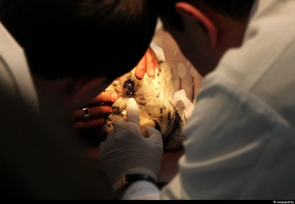 ветеринары осматривают барса